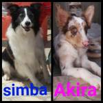 Lindos Filhotes De Border Collie Boituva Sp